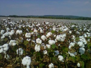 One view from HudsonAlpha is this cotton field.